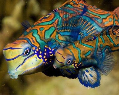 Beautiful Mandarin pair - such a sweet little fish