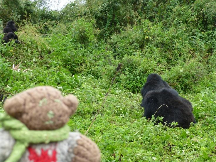Mini Bear visiting the Amahoro gorilla family in Volcanoes National Park, Rwanda in October 2012.