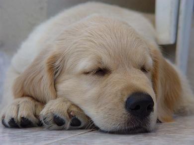 Golden Retrievers....aha looks like duke boy when he was a puppy makes me miss it
