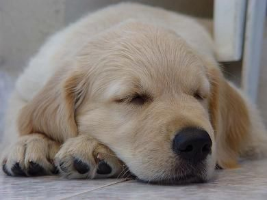 aww- golden retrieverGolden Puppies, Sleep Dogs, Little Puppies, Golden Retrievers, New Puppies, Sweets Dreams, Baby Girls, Sleep Baby, Golden Retriever Puppies
