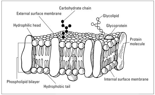 Fluid Mosaic Model Diagram | The Fluid-Mosaic Model of the Cell Plasma Membrane - For Dummies