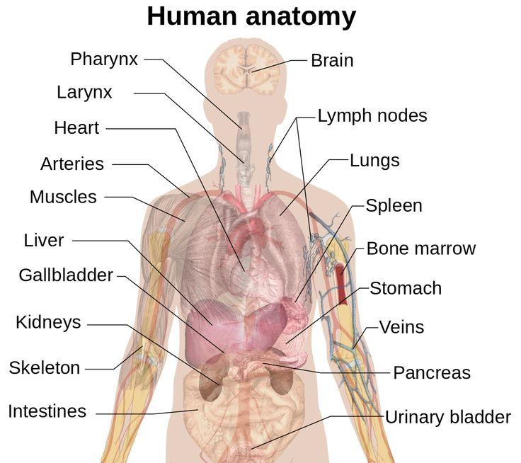 97 best Anatomy images on Pinterest   Human anatomy, Human body ...