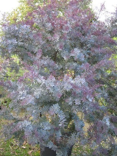 acaciabaileyanapurpurea061010.jpg (411×548)