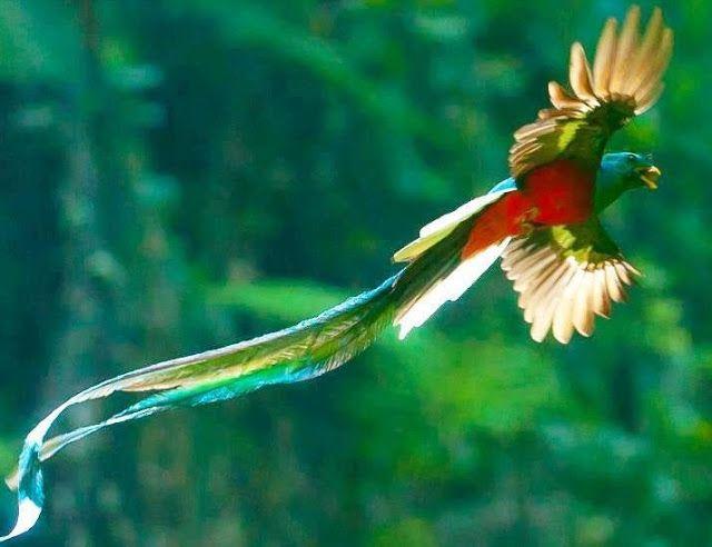 幻の美しい鳥、ケツァール!火の鳥のモデルになった??【n