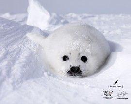 Filhote de Foca na Neve - papel de parede para download