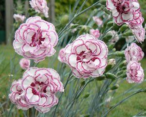 Rosa Nelken im Garten