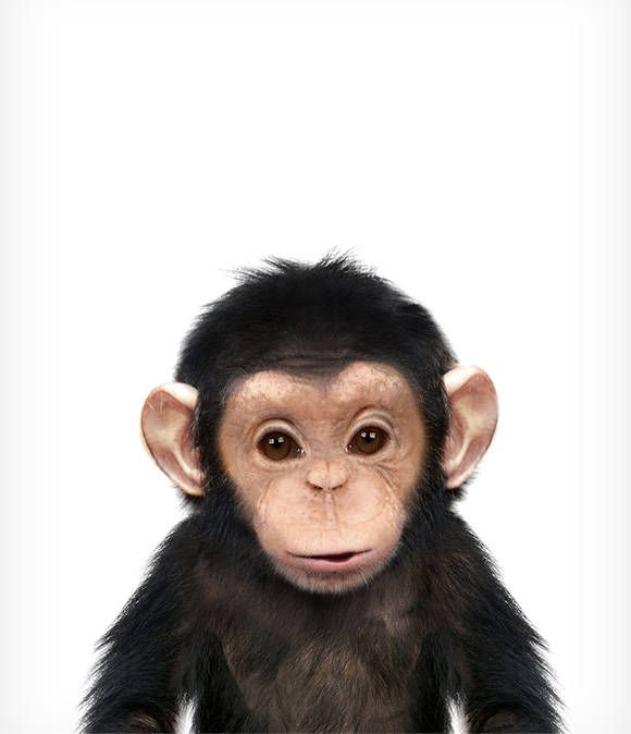 CUTE CHIMP BABY MONKEY WILDLIFE CANVAS PICTURE PRINT WALL ART 6435