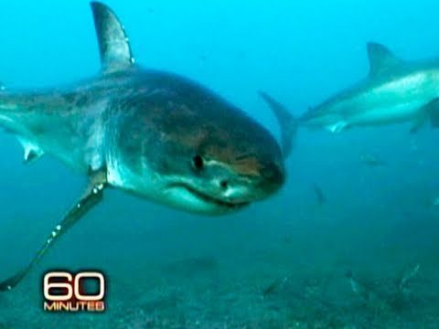 """""""The Sharkman"""" This is a 13min. film about Mike Rutzen (aka. the Sharkman, who swims with the worlds most feared predatror) and his mission to show people around the world how complex, beautiful and NOT ferocious these animals actually are. Every human (specially those mindless fin-fishers) should see this!"""