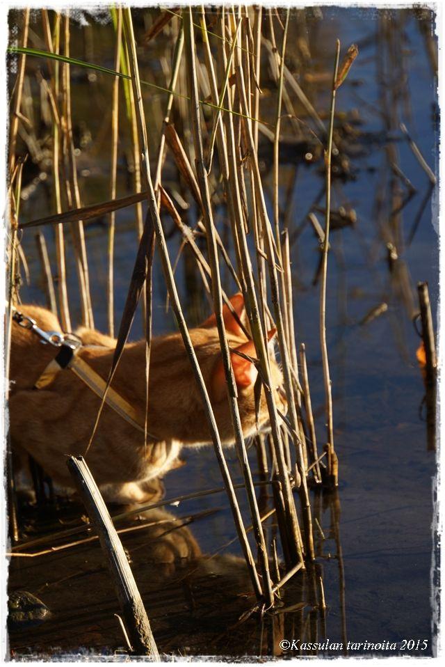 Kassulan tarinoita: Tapasin joutsenen /  prowling is a cat work :)