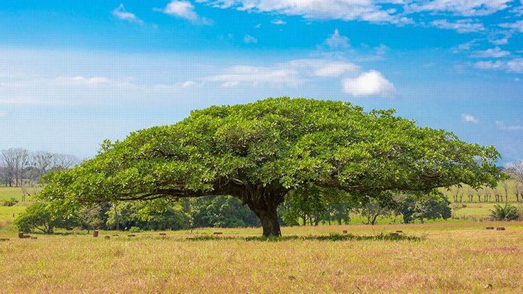 Le Guanacaste. Cet arbre de grande taille (souvent, une trentaine de mètres de hauteur) produit un fruit dont la forme lui a donné son nom français, oreille cafre. Les oiseaux s'en régalent. Les ménagères s'en servent aussi pour laver le linge. L'arbre est l'emblème du Costa Rica.