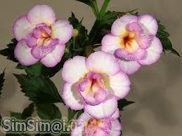 achimenes yellow english rose ile ilgili görsel sonucu