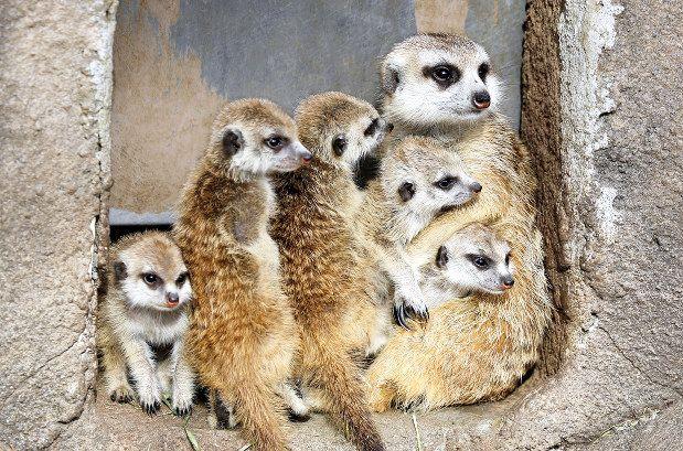 五つ子のミーアキャットと母親 富士サファリパーク提供 ミーアキャット 富士サファリパーク 三つ子