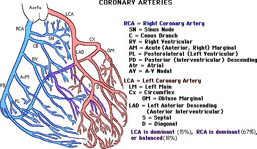 Coronary Circulation Pathway | Location of Arteries andStructures Nourished By Them