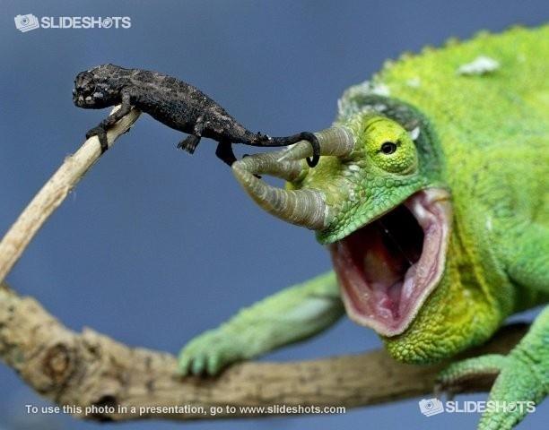 www.Slideshots.com - Jackson's Chameleon climbing off a male's horn at Taronga Zoo in SydneyAfrican Chameleons, Tinki Animal, Male Horns, Lizards Pictures, Taronga Zoos,  Chamaeleo Chamaeleon, Chameleons Climbing, Jackson Chameleons, Boyfriends Boards
