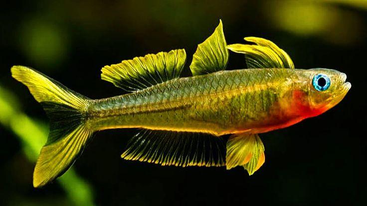 Jenis-jenis Ikan Penghuni Aquascape | Ikan air tawar, Ikan ...