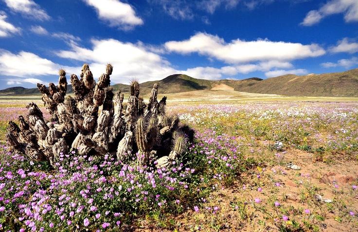 Desierto Florido - Salar de Atacama