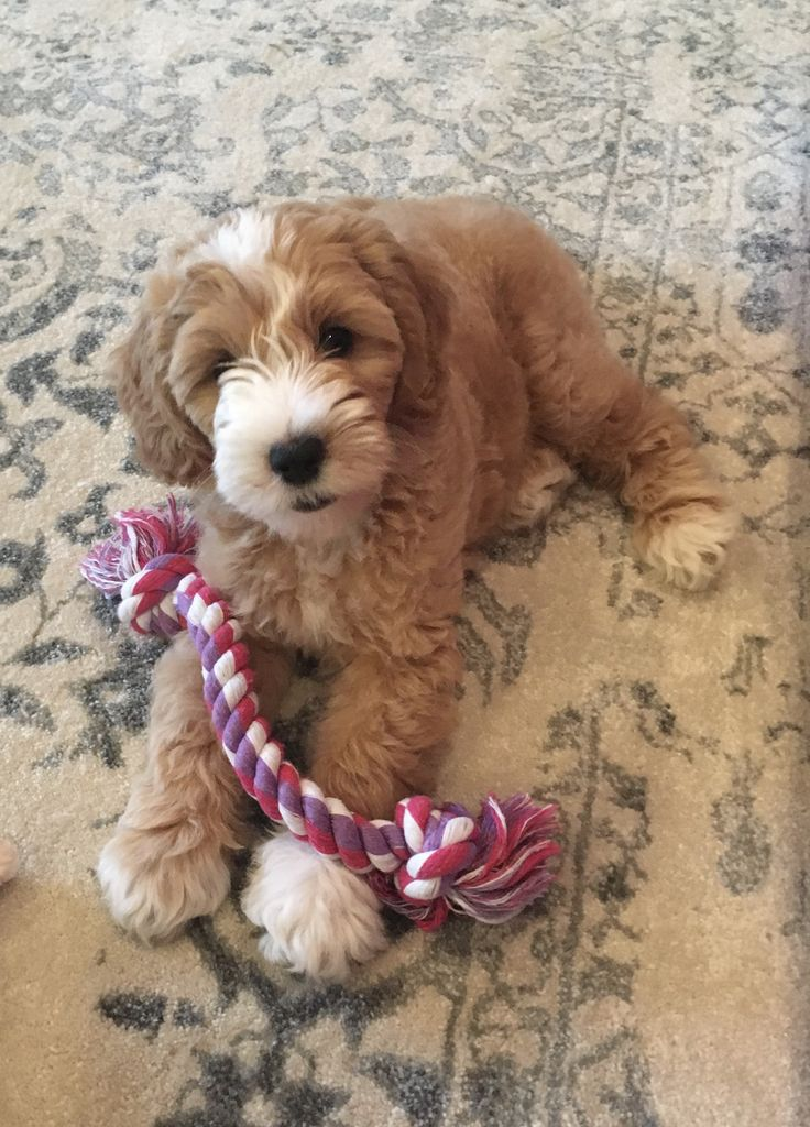 Angel View Doodles Mini Goldendoodle puppy love ❤️