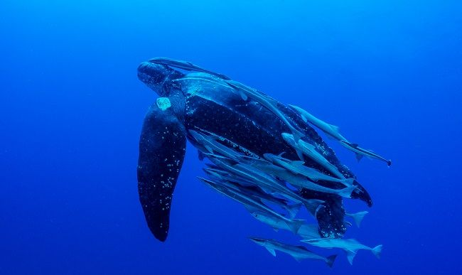 Take action: Endangered turtles and drift gillnets don't mix