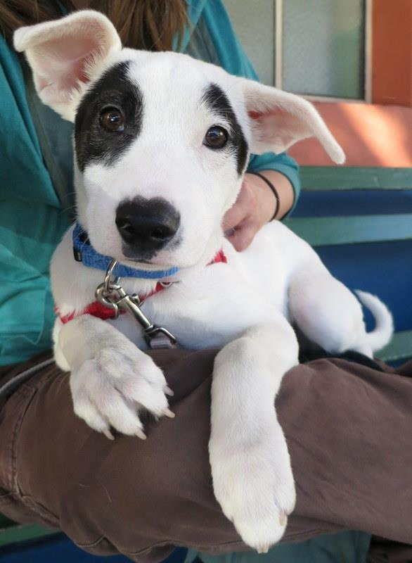 Labrador / Pitbull Terrier mix