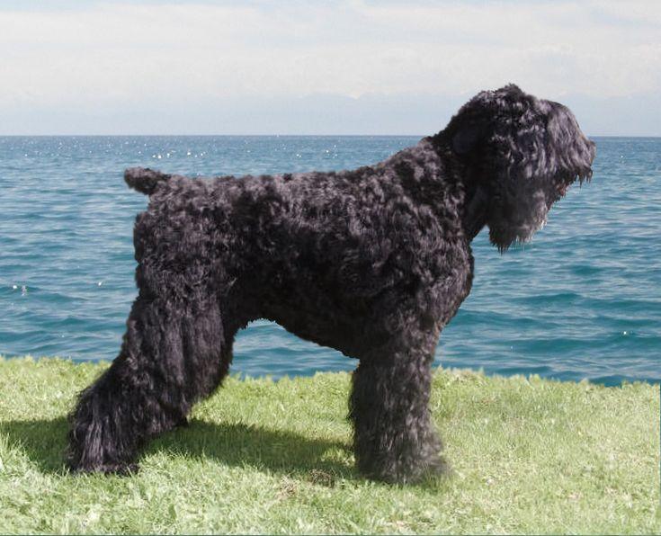 Чёрный русский терьер – описание породы Сталина, происхождение крупной собаки. Темперамент и фото служебной породы собак Чёрный терьер