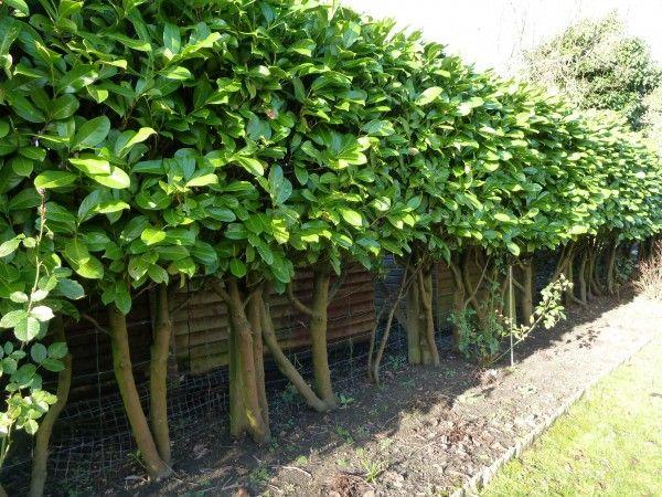 Pleached Laurel Hedge Pleaching Plants Pinterest Garden Design And Shrubs