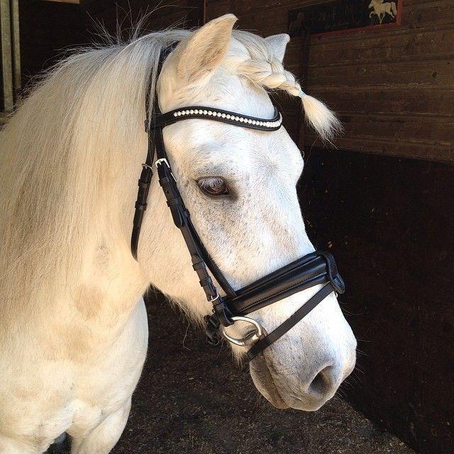 Sweet Icelandic horse with a Combined noseband bridle from Claridge House. #HookedOnHööks I www.hookseurope.com I alvaaurbig