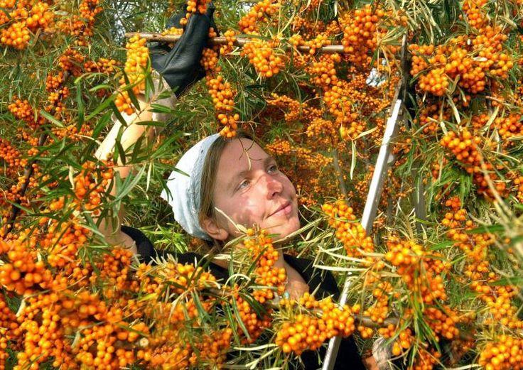 Sanddorn, der orange Alleskönner - Die Früchte enthalten mehr Vitamin C als Orangen und sind daher ideal zum Stärken des Immunsystems. Als Öl aufgetragen, macht Sanddorn die Haut glatt und weich. Mehr dazu hier: http://www.nachrichten.at/nachrichten/gesundheit/Sanddorn-der-orange-Alleskoenner;art114,1477834 (Bild: dpa)