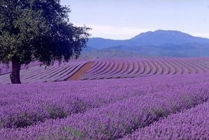 """Sequim Lavender Festival.  Sequim ('skwim') is located in the """"rain shadow"""" of the Olympic Pennisula and has a microclimate ideal for growing lavender - it's similar to the Provence area of France."""