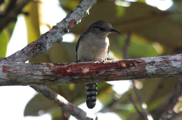 Foto cambaxirra-cinzenta (Odontorchilus cinereus) por Edson Lopes | Wiki Aves - A Enciclopédia das Aves do Brasil