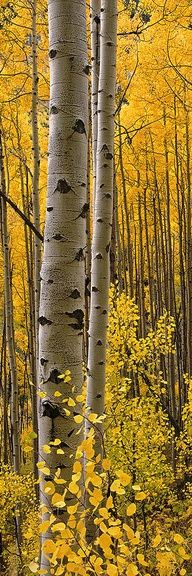 Aspen Trees It's so prettty in the fall!!
