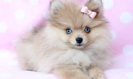 teacup pomeranian puppies for sale Book Covers