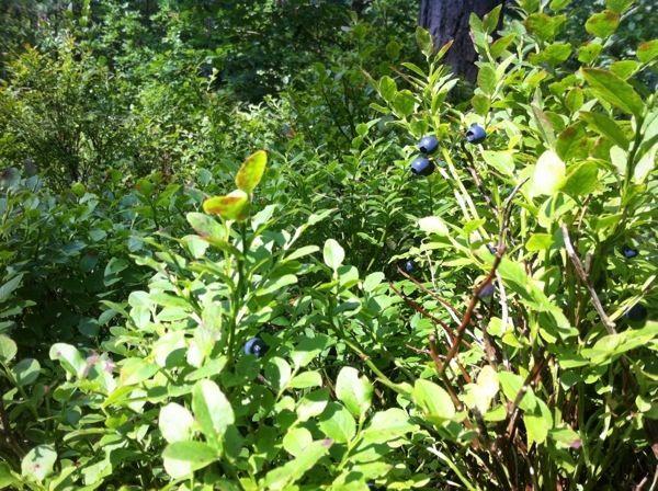 forest-blueberries. poostebloom.de