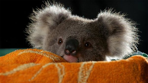 Is that a baby koala or Albert Einstein?