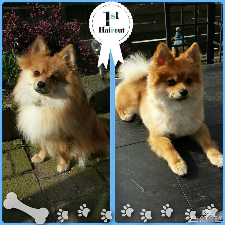 Haircuts For Pomeranians: 28 Best Pooches Images On Pinterest
