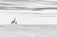 Black and White Fine Art photo, two African Giraffes at waterhole in desert. One Giraffe lifting it's head, one giraffe drinking water. Beautiful soft clouds