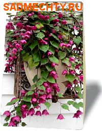 69044 Родохитон Родос (семена цветов)