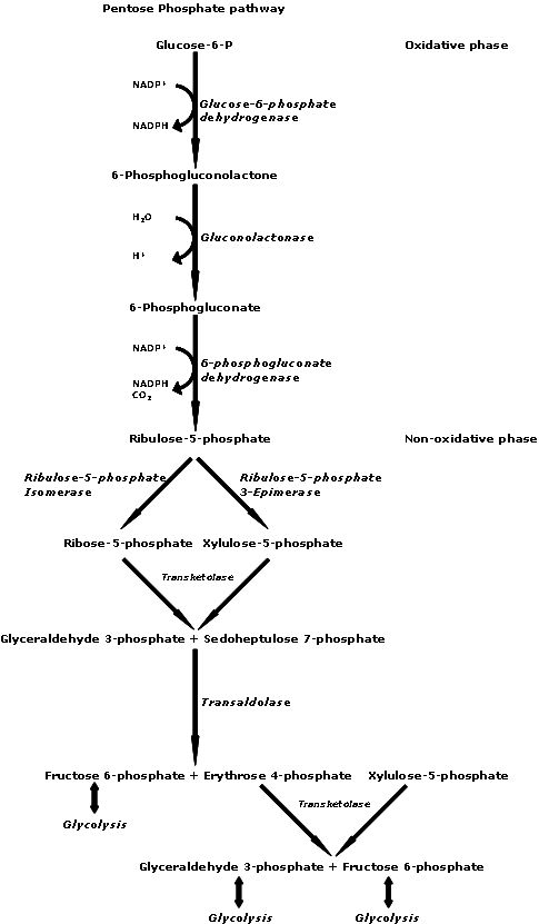 TJ . In biochemistry, the pentose phosphate pathway (also called the phosphogluconate pathway and the hexose monophosphate shunt) is a metabolic pathway parallel to glycolysis that generates NADPH and pentoses (5-carbon sugars). While it does involve oxidation of glucose, its primary role is anabolic rather than catabolic. There are two distinct phases in the pathway. The first is the oxidative phase, in which NADPH is generated, and the second is the non-oxidative synthesis of 5-carbon…