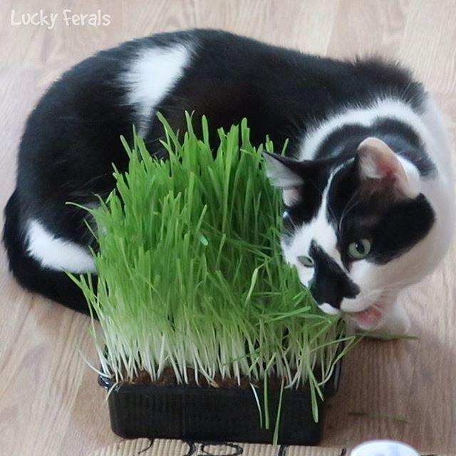 Cat Grass Is Very Healthy For Cats Splash Loves Oat Grass Splash Luckyferals Catgrass Cat Cats Catstagram Catsofi Cat Grass Cat Love Cats Of Instagram