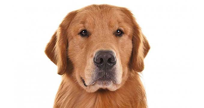 Golden Retriever facts including: history, training/temperament, and breed colors and markings.
