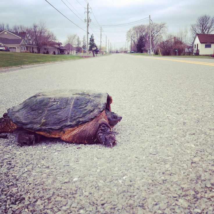 Snapping turtle crossing Queenston Rd in Niagara-on-the-Lake.