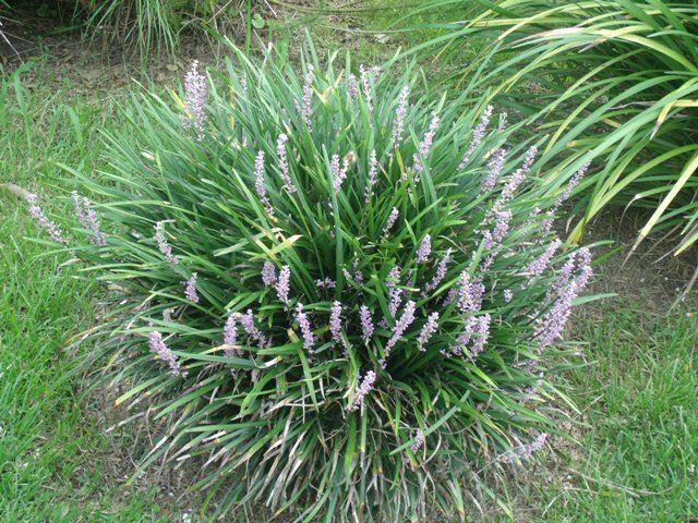 39 best images about ornamental grasses on pinterest for Short landscape grasses