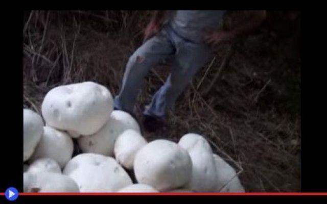 24 Kg: il fungo commestibile più grande al mondo È sempre importante, nella definizione di un'intera classe di organismi, determinare la linea di confine degli estremi contrapposti: il più lento e il più veloce, quello che proietta la sua vita magg #funghi #cibo #foresta #piante #scienza