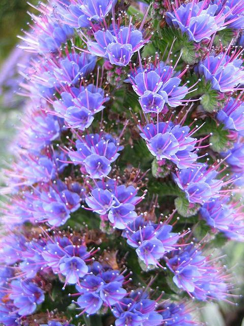 Echium webbii (Echium webbii) is a frost hardy biennial evergreen plant with blue flowers in late Summer and mid Summer. It grows well in direct sun, and prefers medium levels of water. The flowers are arranged in a panicle inflorescence. It has high drought tolerance. It looks best in Summer.