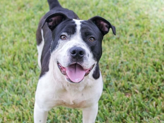 BEANS - ID#A469431 - URGENT - Harris County Animal Shelter in Houston, Texas - ADOPT OR FOSTER - 1 year old Male Pit Bull Terrier mix - at the shelter since Oct 01, 2016.