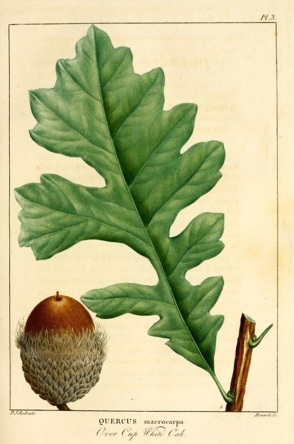 Quercus macrocarpa. Histoire des arbres forestiers de l'Amérique septentrionale v.2 Paris,L. Haussmann,1812-13. Biodiversitylibrary. Biodivlibrary. BHL. Biodiversity Heritage Library