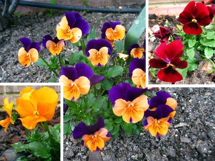 Pensamiento (Viola tricolor) Su floración se extiende desde el otoño hasta la primavera, soportando bastante bien alguna helada en invierno. Le gustan los terrenos ricos en materia orgánica y con una exposición soleada o a semisombra. Para que se aclimaten antes del transplante se les mantiene una semana sin sacarlos de la maceta del vivero, regándolos todos los días. Así antes de enraizar, la planta ya se ha acostumbrado a la temperatura de su nuevo emplazamiento.