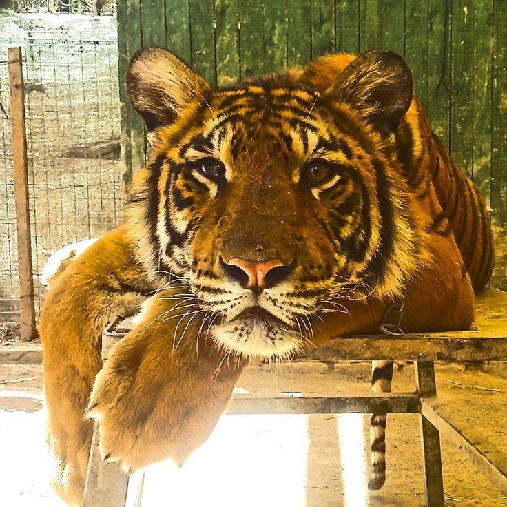 Aqui gatinho! A aventura hoje é um passeio óleo zoológico de Luján cidade vizinha de Buenos Aires Argentina. #abussolaquebrada #viagem #buenosaires #viajar #argentina #travel #zoo #traveler #unitedaround #unidosporai