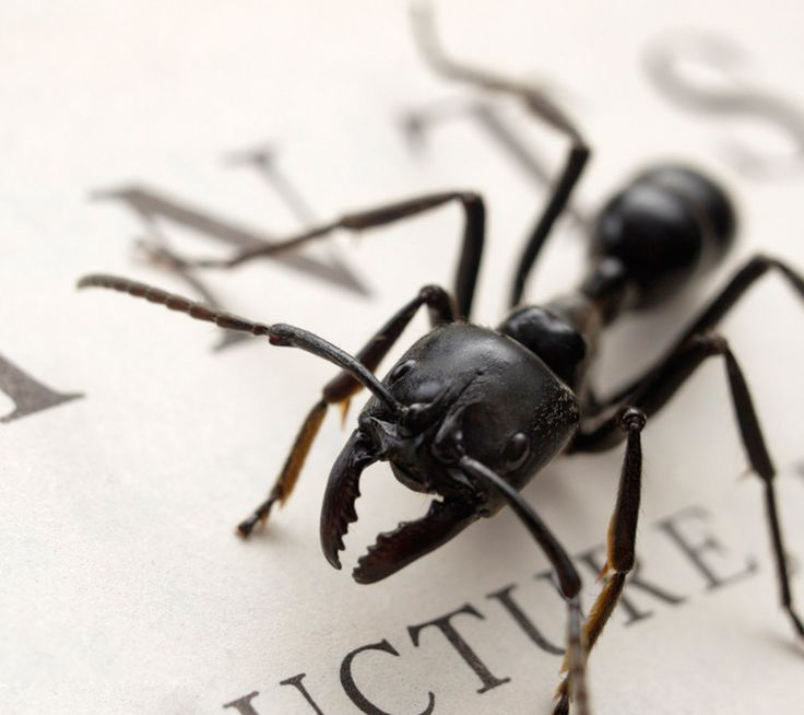 Get Rid of Black Ants Inside the Home. A proper eradication procedure is possible with the right techniques. This can even reduce the chances that the colony will ever return. But before one can start tending to the solution, you must know who you are up against. Knowing the weakness of the ant can make your job easier. Read more: http://howik.com/Get_Rid_of_Black_Ants_Inside_the_Home
