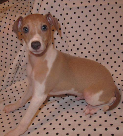 Italian Greyhound puppies for sale in Kansas, Nebraska, Missouri | Joyful Puppy Tails