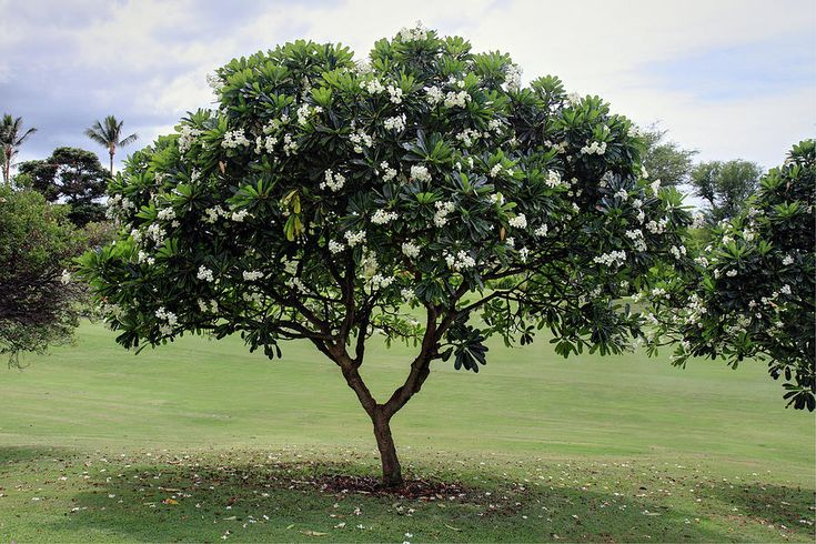 Plumeria alba (frangipani)